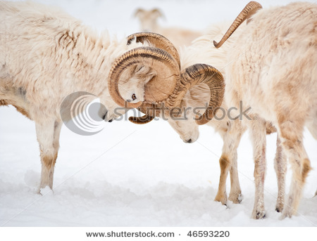 stock-photo-two-fighting-male-dall-sheep-ovis-dalli-ram-horns-in-a-display-of-power-46593220